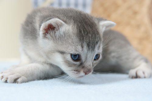 petit-chat-gris