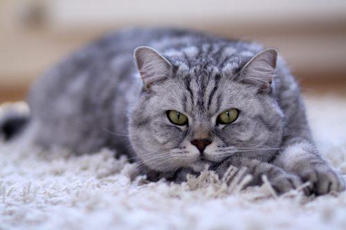 Gros chat gris tigré sur un tapis