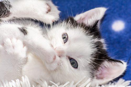 Accouchement de chat, que dois-je faire?