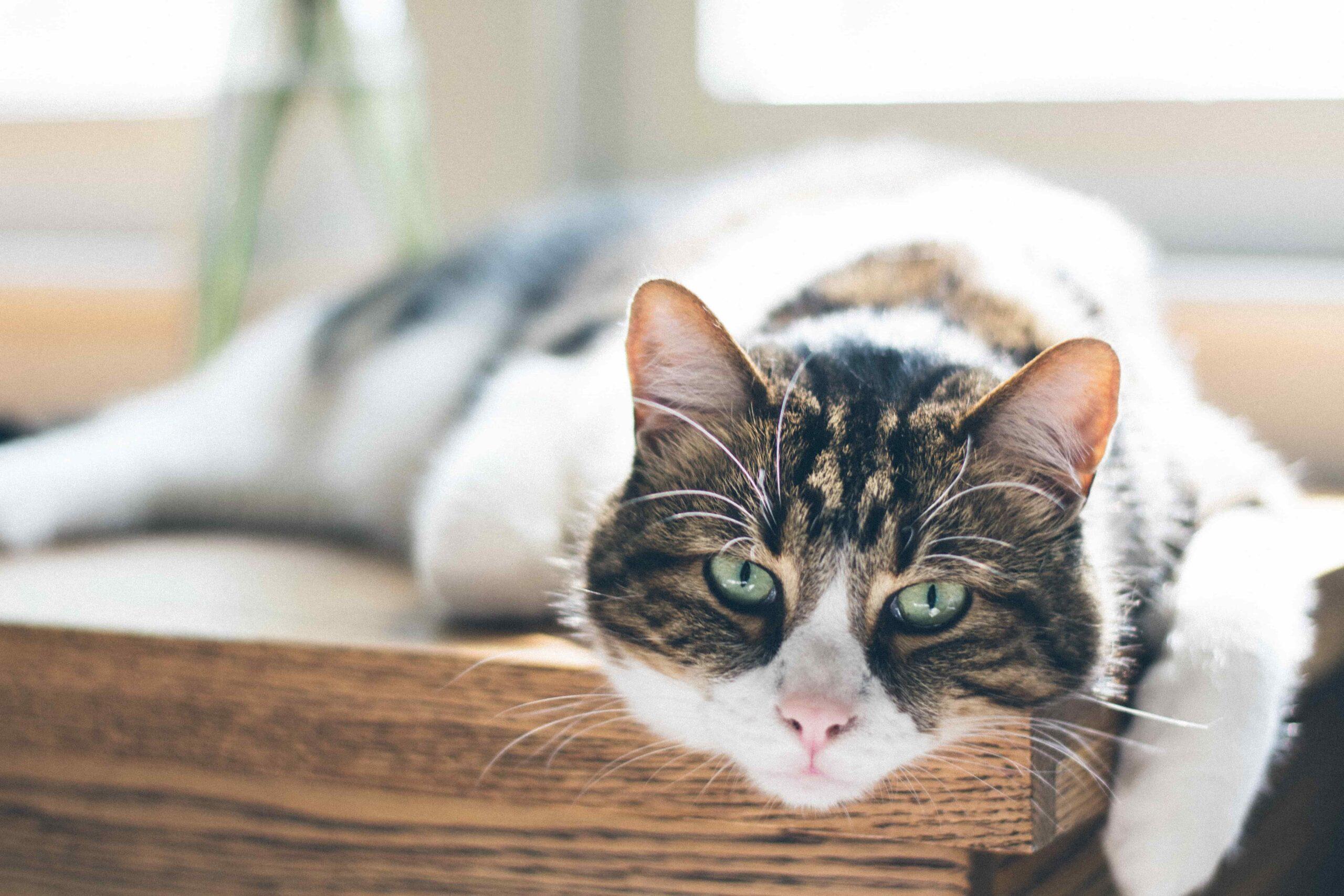 Prendre soin de la santé de son chat âgé